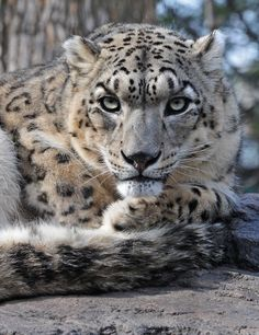He looks like he got up on the wrong side of the bed! Leopard Cub, Clouded Leopard, Snow Leopard, Big Cats, Cool Cats, Cats And Kittens, Cute Baby Animals, Animals And Pets, Wild Animals