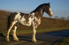 Storm Warning (Price:4,500) Breed: Gypsy Irish Draught x Hackney Age:5 years old Gender:Stallion  -------------------- Storm is a 5 year old Sport Horse cross stallion that has been used for carriages and breeding. He's sound, strong, up to date on Coggins, shots, and inspections. He's registered and able to show/breed in both breed registries