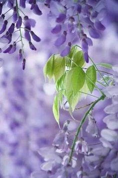 beautiful, pastel, and flores εικόνα Lavender Green, Purple Lilac, Shades Of Purple, Green And Purple, Periwinkle, Mint Green, Purple Flowers, Beautiful Flowers, Color Lavanda