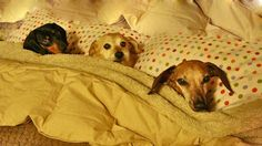 Three dogs in a row all underneath their mini blanket and pillows getting ready for bed.
