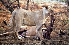 EDIT: An article on a lioness who showed some remorse after killing a pregnant antelope. -   I'm sure my old Animal Behavior professor would disagree with this but I'm a firm believer that some animals can perceive complex emotions.