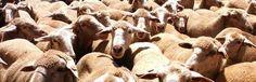 Pilar González    (EFEverde) jun .- Reinas de la biodiversidad, las vacas y ovejas trasladan diariamente miles y miles de semillas en su pastorear garantizando la supervivencia y reproducción de muchas especies del mundo animal y vegetal.