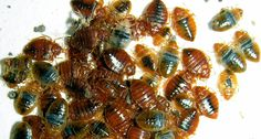 Mothballs And Bed Bugs