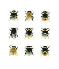 Bumblebee Species ~ Hand Coloured Mezzotints ~ Louise Bird