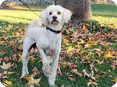Burbank, CA - Ray is a cream Poodle mix about 2 years old and 19 pounds. He's a tall and gangly boy with a friendly demeanor and a headstrong spirit! He thoroughly enjoys outdoor activities and is plenty of fun to walk! Come into Petco and give him a run!