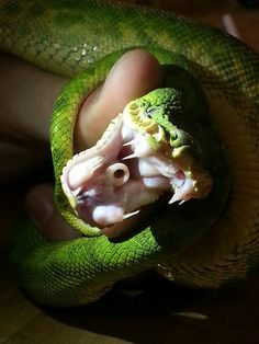 professor-mod:  Emerald tree boa saying hello. With the mouth open you can see why they take the prize for the largest fangs of any non-venomous snakes. They need them for holding on to birds in the wild that make up the largest part of their diet. two more things to note are the little circle hole in the mouth, this is actually sort of a second nose, it allows them to breath as they swallow their prey. Also the row of boxlike scales above the mouth and below the eyes are heat pits.…