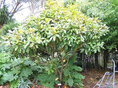 Architectural_plants : Magnolia grandiflora
