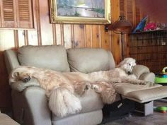 Afghan hounds always take the best seats in the house