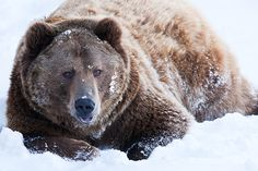 If you haven't figured it out by now, the grizzly bear is my favourite animal.
