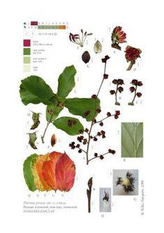 parrotia (persian ironwood)