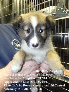 Rowan County NC animal shelter Petfinder  Adoptable | Dog | Collie | Salisbury, NC | Alpha - ID# 58622 Last day 2/20/14!!!!!!!!******