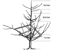 Limb spreaders help open the dwarf tree canopy and train the limbs to grow outward. Dwarf Fruit Trees, Tree Support, Tree Canopy, Apple Tree, Container Plants, Plant Care, Train, Garden Ideas, Court Yard