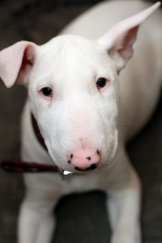 Aw! American English Bull Terrier Puppy Dog Puppies Hound Dogs