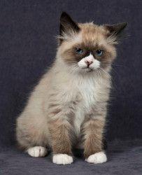 Short haired ragdoll kittens for sale