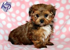 Keystone Puppies has a puppy finder feature setting you up to find and buy a dog perfect for your home. Shorkie Dogs, Shorkie Puppies For Sale, Baby Puppies, Cute Puppies, Cute Dogs, Dogs And Puppies, Doggies, Puppys, Yorkie Shih Tzu Mix