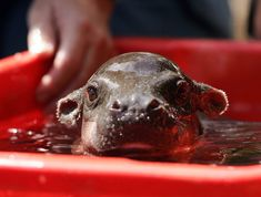 what a darling little hippo cub