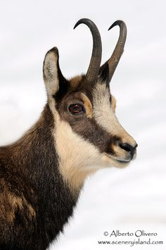 Chamois (Rupicapra rupicapra) (by Alberto Olivero) - I love the expression on his face