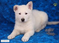 Avalanche - German Shepherd Puppy for Sale in Kirkwood, PA - German Shepherd - Puppy for Sale