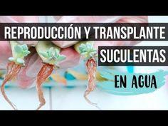 TRANSPLANTE Y CUIDADOS DE SUCULENTAS REPRODUCIDAS EN AGUA - YouTube Cactus Y Suculentas, Plantar, Youtube, Succulents, Nature, Projects, Gardening, Patio, Gardens