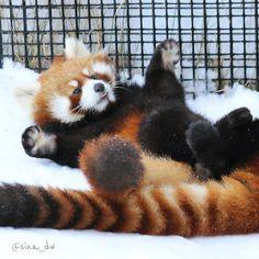 1,477 отметок «Нравится», 28 комментариев — @sina_dw в Instagram: «明日と明後日は夜の動物園なので生まれて初めての残業ですよ。誰が何時に外に出るか予測が出来ないな。 #円山動物園 #動物園 #zoo #animal #レッサーパンダ #redpanda #円実»