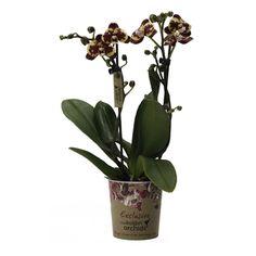 Little kolibri orchids ethiopia Ethiopia, Accounting, Orchids, Business Accounting, Lilies, Orchid
