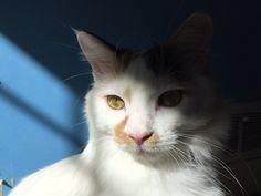 Calico Cat Sitting Oddly   Mi-Ke! the magical Multicolored ...