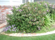 Plant photo of: Hebe 'Patty's Purple'