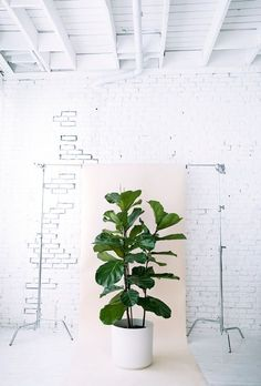 figuier lyre - plante verte - plante intérieur