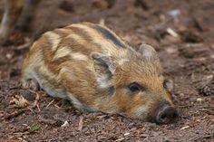 Wild Boar piglet