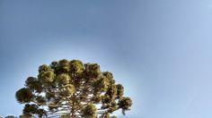 Curitiba sem filtro - sol de inverno - pinheiro #Curitibasemfiltro #pinheiro