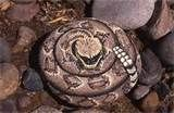 These rattlers actually scared some dogs. At shows, I always had to keep them away from my other merchandise because some people did not want to shop near them.