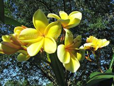 Country Like Feeling Florida Garden Clffg Talks About The Gorgeous Yellow Plumeria