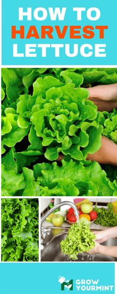 Incomparable Vegetable Gardening Tips At Your Backyard Ideas. Impressive Vegetable Gardening Tips At Your Backyard Ideas. Container Plants, Container Gardening, Organic Gardening, Gardening Tips, Urban Gardening, How To Harvest Lettuce, Growing Lettuce, Rustic Home Interiors, Garden Pests