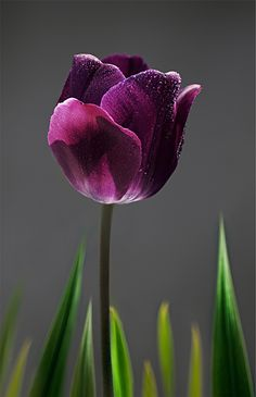 Purple Tulip b