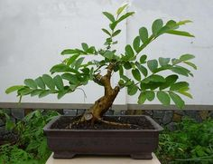 Image credit: Plants Rescue Guava Tree 15 Cute Bonsai Plants You Would Want To Take Home Right Now