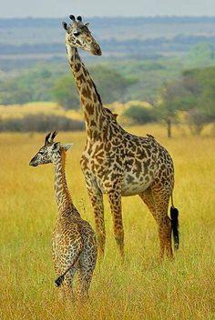 Tanzania - Giraffe mother and son Safari Animals, Animals And Pets, Baby Animals, Cute Animals, Baby Giraffes, Wild Animals, Elephants, Giraffe Pictures, Animal Pictures