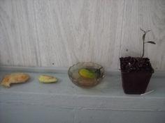 Pěstování Mango Tree z osiva