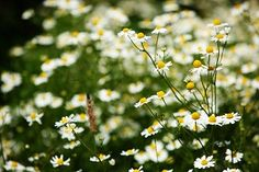 26 bylinek na zahrádku, které musíte mít! Dandelion, Flora, Plants, Gardening, Free, Dandelions, Garten, Planters, Lawn And Garden