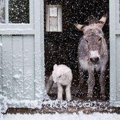 ❄ Es schneit! ❄ Wir bleiben heute lieber im Stall, okay!? Da ist's wenigstens bißl warm.                                                                                                                                                                                 Mehr
