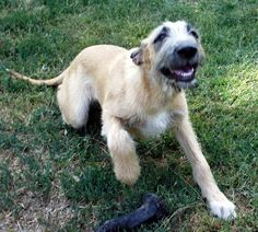 Irish wolfhounds, my personal favorite. Just look at him!! by april