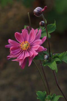 Anemone hupehensis 'Bessingham Glow'