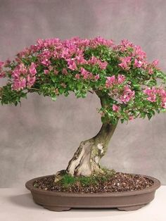 pink and green bonsai tree, in stunning bloom...