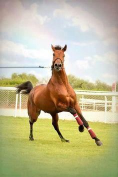 A running horse