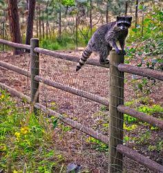 Raccoon on the fence.