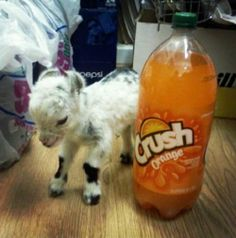 tiny goat