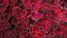 Coleus Seeds - Velvet Red,very Showy,Easy To Grow,Shade Loving Plant!Perfect for adding some intense color into the shade border Plant Wallpaper, Red Wallpaper, Leaves Wallpaper, Mobile Wallpaper, Seed Raising, Pineapple Planting, Organic Compost, How To Attract Hummingbirds, Foliage Plants