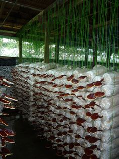 DXN ganoderma farm - where all those mushrooms are grown that give the base for the lovely DXN coffee :)