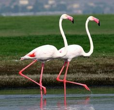 ...flamingos in step...