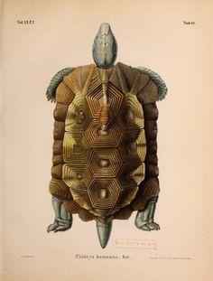 Plate 43. Cinixys homeana. Home's hinge-back tortoise. _Novorum actorum_ 1843