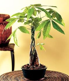 The botanical name of this plant is Pachira Aquatica. In Feng Shui it is used to produce positive energy. Pachira Aquatica, Feng Shui Plants, Bonsai Nursery, Feng Shui Cures, Feng Shui House, Plantas Bonsai, Indoor Trees, Money Trees, Outdoor Plants